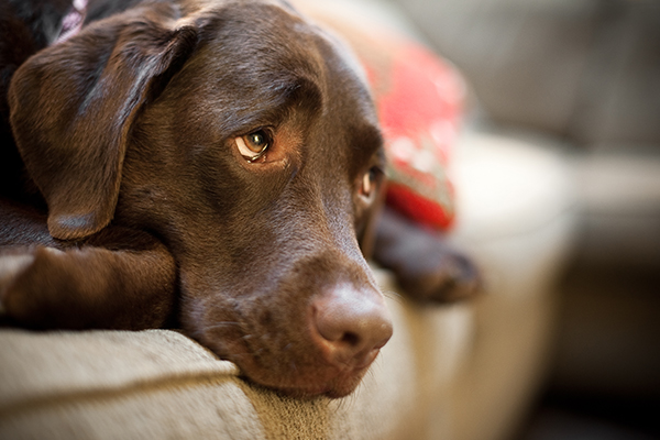 choc-lab-couch