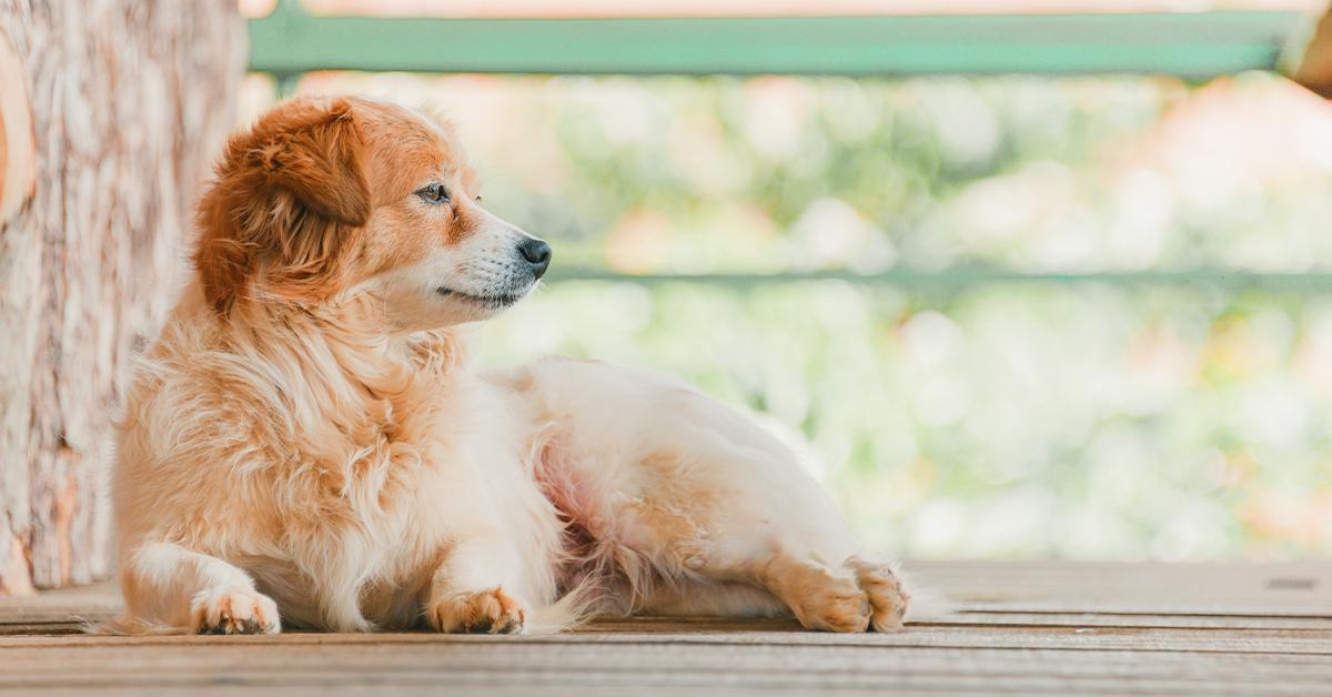 golden dog lying outside on deck